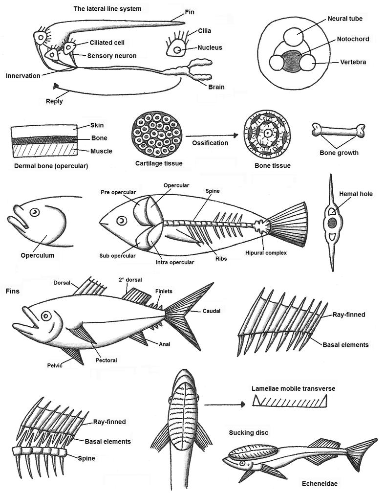 Fish Anatomy vol. 2 by Maleiva on DeviantArt