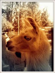 A llama by Maleiva