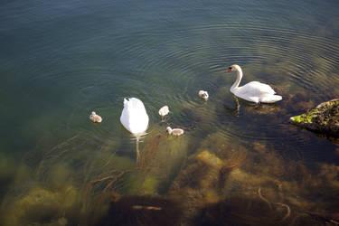 Swans at smogen by yvel