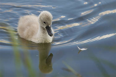 youth of a swan by yvel