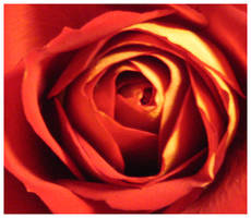 Heart of the rose... by Iardacil