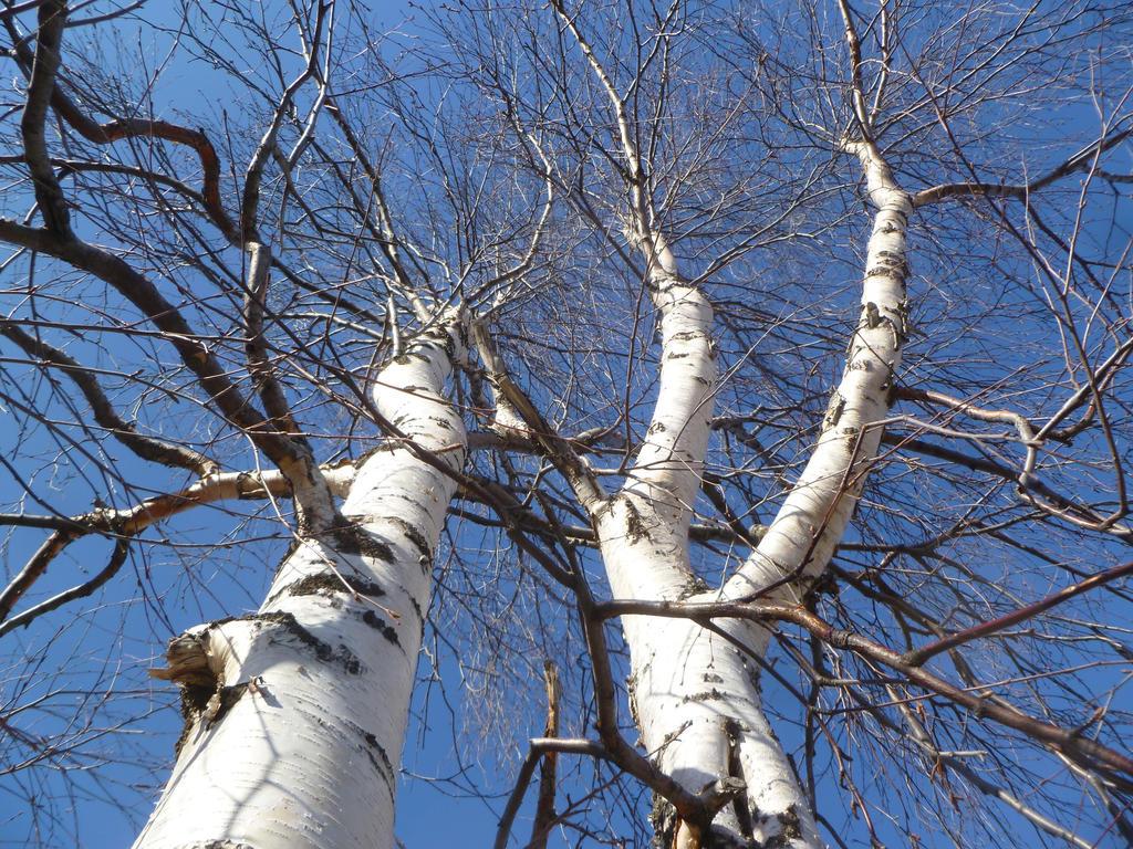 Birch by 4ajka