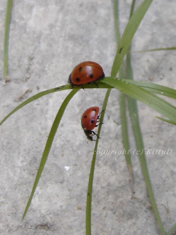 Ladybug II by KittyD