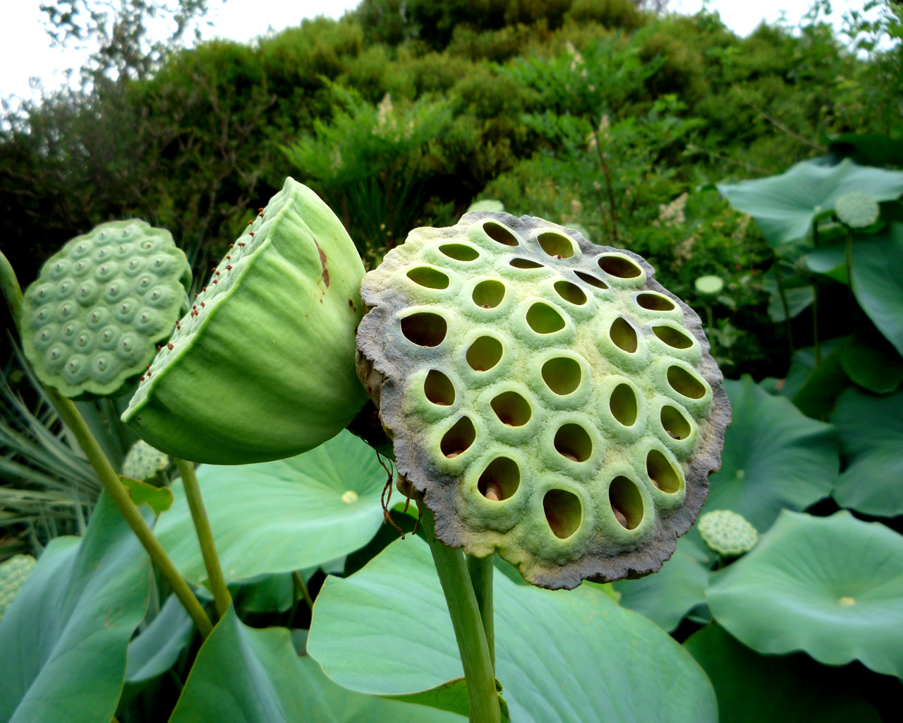 Image result for lotus seed