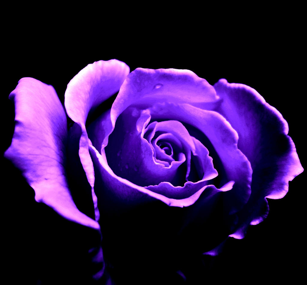 Purple Rose by Akina11...