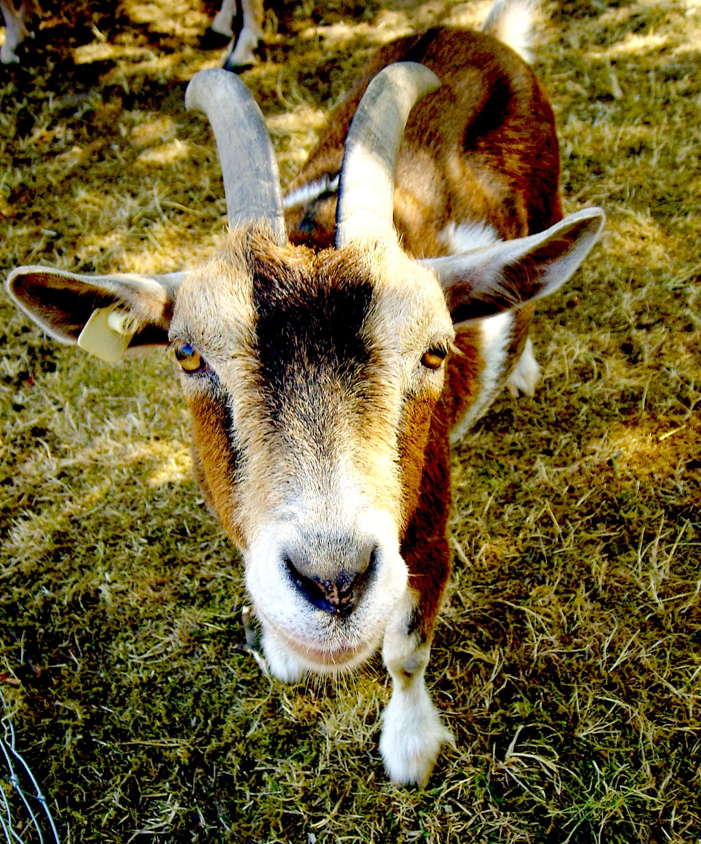 Brown Goat by ScHoKoKeKsChEn