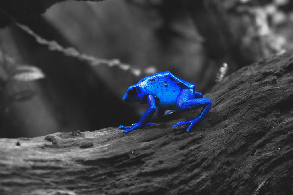 Blue Poison Dart Frog III by ScHoKoKeKsChEn on DeviantArt