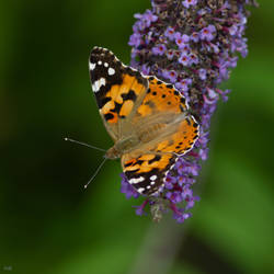 - Butterfly Close Up. -