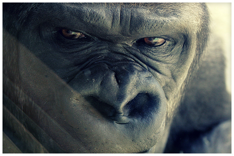 Gorilla Face by celticgoddessart on DeviantArt
