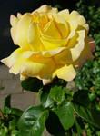 Yellow rose across the street