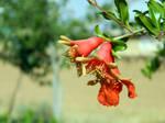 Pomegranate flower 3