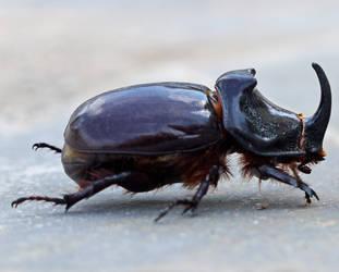 Rhinoceros Beetle by Artisanimage