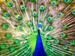 Fractal Peacock