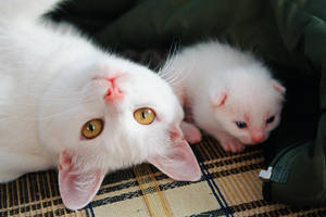 kitty by kokarca