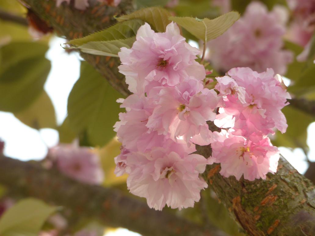 Fleurs de Cerisier 05 by mekheke