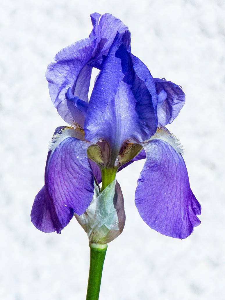 Iris by mekheke