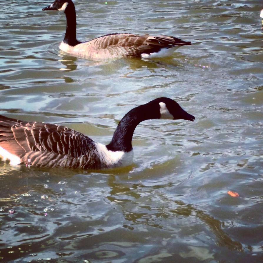Ducks at Thames ... by Saptarshi-Nag