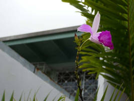 Orchidia morada by crisisnyc
