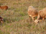 Goats 03