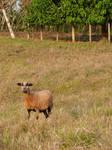 Goats 05
