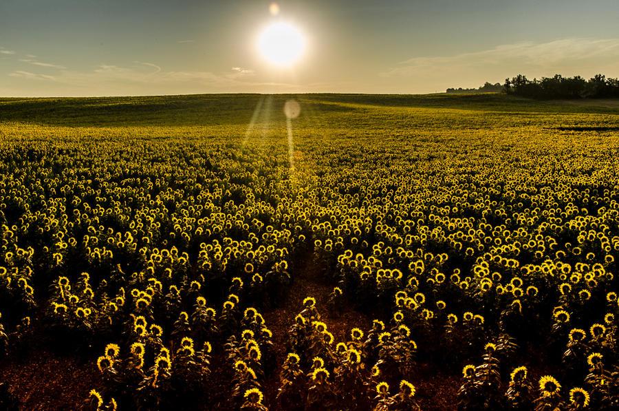 07:24 | Sunflowers awakening by OlivierAccart