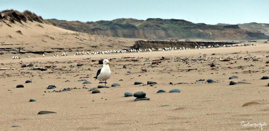Seagulls Ambassador by cactusmumkate
