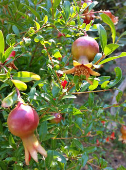 KRETA - Pomegranates at the Botanical Garden