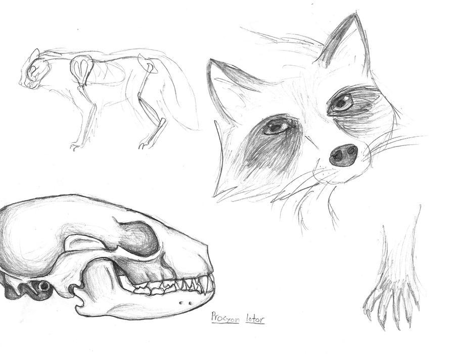 Raccoon Sketches by AutumnDragon1172 on DeviantArt