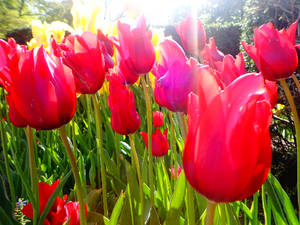 FLOWER#12 Red Tulips