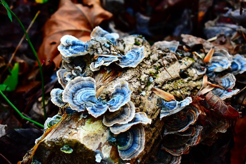 Blue Fungi Stock