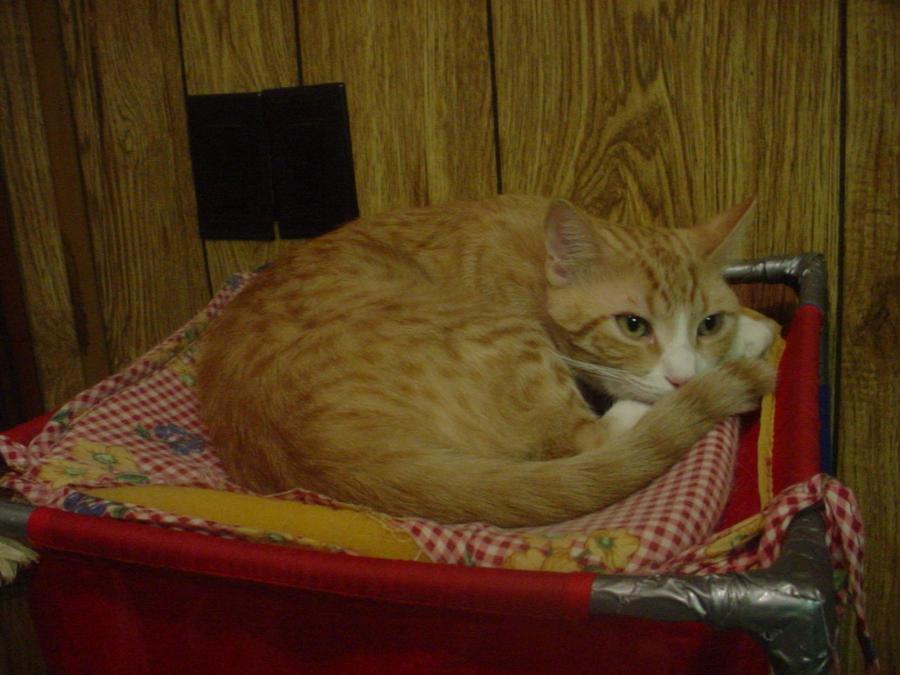 Cat: Louie by FluffyKnight