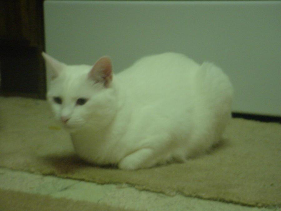 Cat: Sugar by FluffyKnight