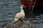 White Sea Goose