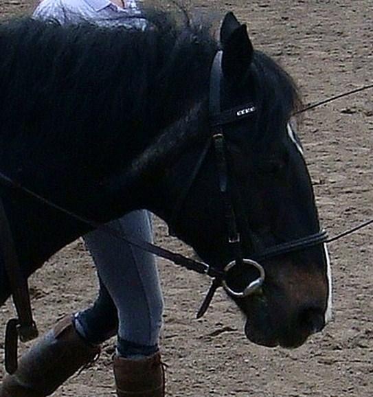 Pebbles Horses Morgan_by_wolfgirloficelove-d46mqke
