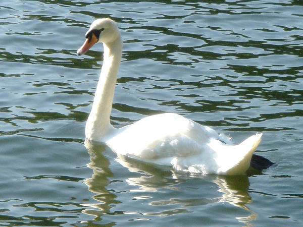 Stock 111: swan 2 by AlzirrSwanheartStock