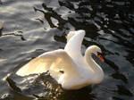 Stock 124: swan wings spread