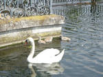 Stock 126: swan with kids