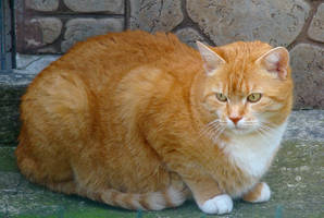 Stock 269: red cat resting by AlzirrSwanheartStock