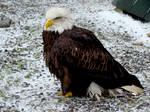 Stock 272: american bald eagle