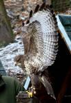 Stock 273: hawk wings spread