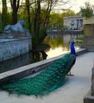 Stock 282: peacock back full