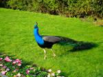 Stock 288: peacock walking