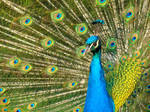 Stock 290: peacock closeup