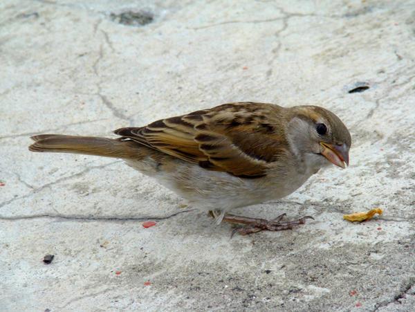 Stock 317: sparrow