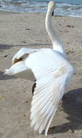 Stock 327: swan wing 1