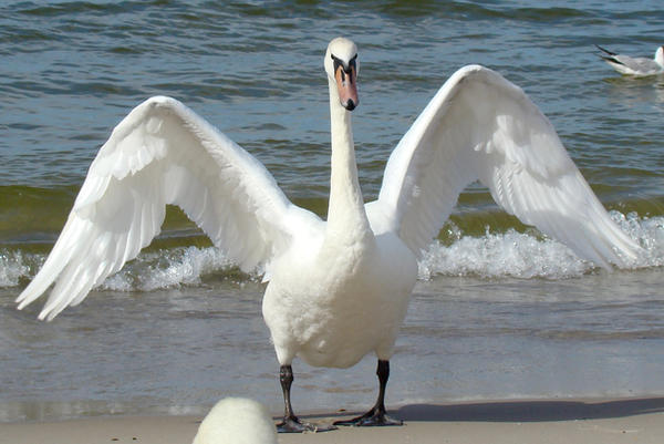 Stock 328: swan wings