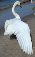 Stock 329: swan wing 2