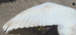 Stock 331: swan wing 4