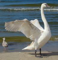 Stock 333: swan wings 3 by AlzirrSwanheartStock