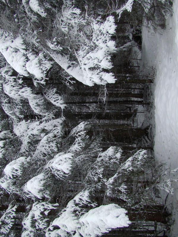 Stock 355: winter trees 5